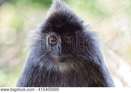 Black And White Surili Monkey In Borneo