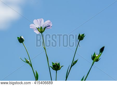 Bright Delicate Beautiful Flowers Flax Against Blue Sky
