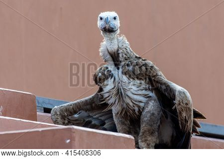 The Griffon Vulture Close Up (gyps Fulvus) Wings Slighly Spread. Scavengers In Africa And Middle Eas