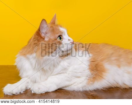 Beautiful Domestic Red And White 10-year-old Cat Lies On A Wooden Table On A Yellow Background. Hori