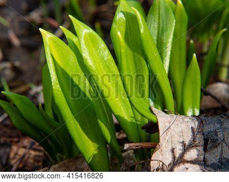 Juicy Leaves Ov Allium Ursinum - Known As Ramsons, Buckrams, Broad-leaved Garlic, Wood Garlic, Bear