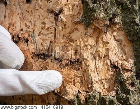 Finger Pointing Insect Tunnels Under Bark. Forester Shows Maps Bitten By Longhorn Beetle Larvae Unde