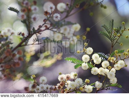 Australian Nature Background Of Yellow Flowers And Buds Of The Australian Native Sunshine Wattle, Ac