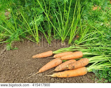 A Bunch Of The Fresh Carrots With Green Tops On The Ground. Harvesting Carrots. Carrots Growing In T