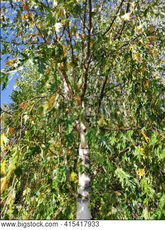 The Birch With Yellow And Green Leaves In Autumn. Wood Pattern. Leaves And Birch Bark Background