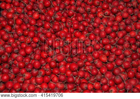 Red Natural Berry Background Of Ripe Hawthorn (latin: Crataegus). Large Berries Of Garden Hawthorn.