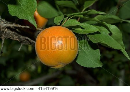 Apricot. Branch Of An Apricot Tree With Ripe Apricot. Ripe Apricot Grow On A Branch.