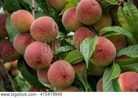 Peaches On Tree. Beautiful Peaches On Tree. Green Fruit Garden. Peaches Close Up.