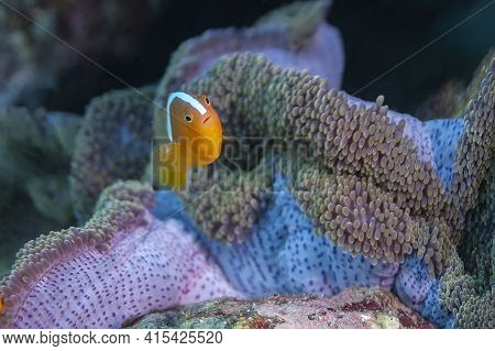 Eastern Skunk Anemonefish On The Background Of Its Anemone With A Beautiful Mantle. This Species Is
