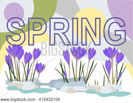 Purple Crocuses Grow From The Snow, In The Background Of The Picture There Is The Inscription Spring