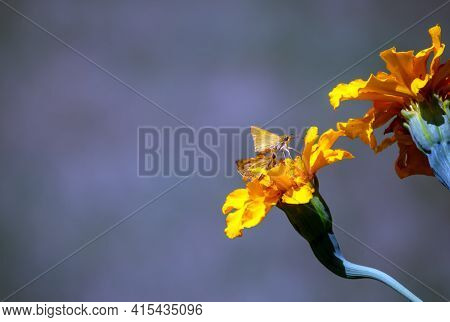 A Pair Of Skipper Moths And A Pair Of Marigold Flowers Combine Against A Bokeh Background To Make A