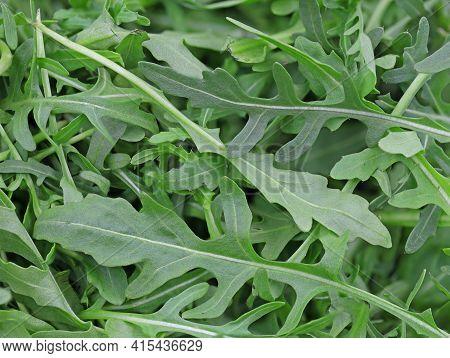 Close Up Of Fresh Green Rucola, Arugula Salad Detail Background