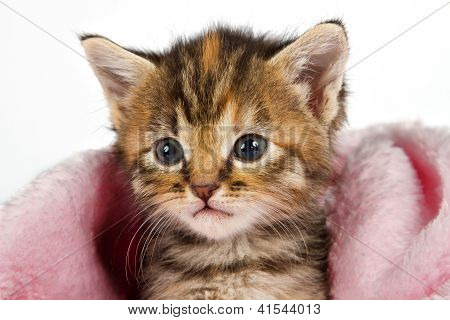 Kitten In Pink Blanket Looking Alert