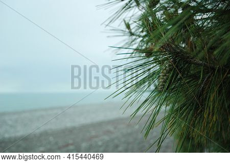 Pine With Long Needles Grows On The Coast Near The Sea. Pine Cones Grow On Pine Trees. Beach On The