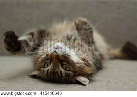 Front View Of Cute Beautiful Cat Resting In Her Dreams