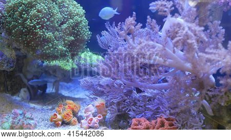 Species Of Soft Corals And Fishes, Lillac Aquarium Under Violet Or Ultraviolet Uv Light. Purple Fluo