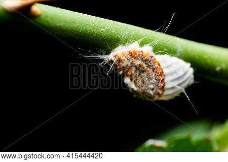 Cottony Cushion Scale Insect Also Known As Icerya Purchasi Which Are Harmful Insect Pests Can Damage