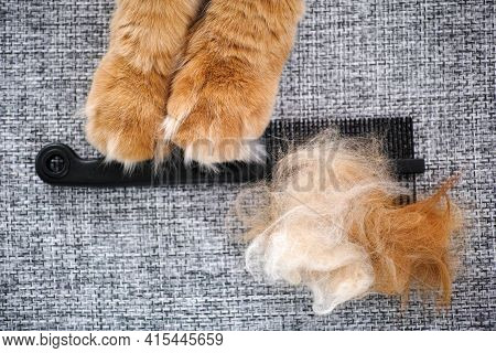 A Red Maine Coon Cat Holding A Comb With Its Fur On It In Its Paws. Close Up.
