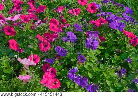 Flowerbed With Multicoloured Petunias. Image Of Colourful Petunia Flowers.