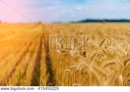 Big Golden Field Of Wheat. Harvesting Yellow Ripe Wheat. Agricultural Close Up.