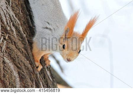 Squirrel In Winter. The Red Squirrel Or Eurasian Red Squirrel Is A Species Of Tree Squirrel In The G