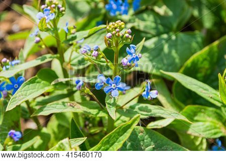 Blue Flowers Siberian Forget-me-nots Or Siberian Bugloss (latin: Brunnera Sibirica) In Garden Close
