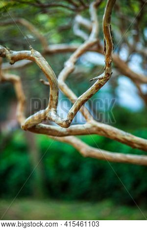 Beautifully Curved Thin Branches Of A Young Tree Without People, Without Leaves
