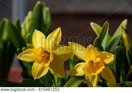 Dwarf Narcissus Flowers With Yellow Petals In A Garden On A Sunny Day In Springtime