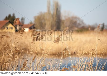 Selective Blur On A Bunch Of Common Reed, Also Called Phragmites, In A Wetland Of Europe, In Serbia.