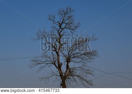 Beautiful Eastern Black Walnut Tree Under Open Sky And Wires Going Through Tree