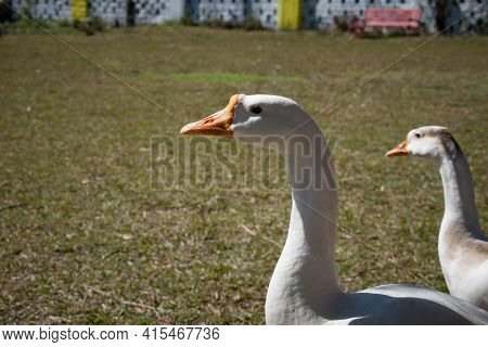 Closeup Picture Of Neck And Head Of Domestic White Goose