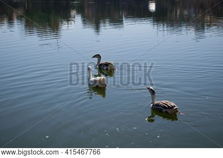 Picture Of Goose Floating In Lake Water
