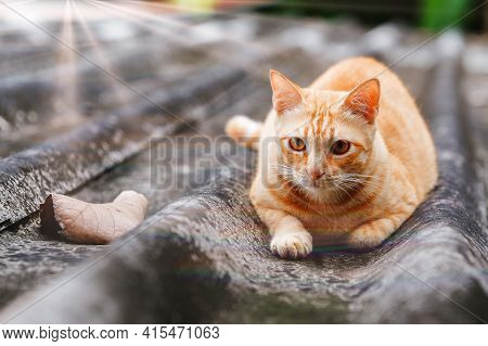 Stray Ginger Cat With Amber Eyes Laying On Roof. Looking Straight Ahead. Animals Are Friends. Adopt