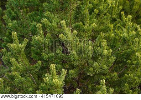Natural Background Or Wallpaper Of Green Spruce Branches And Spruce Needles. Evergreen Tree
