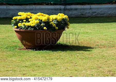 Yellow Marigold Flowers Bloomed In Red Earthen Pot Displayed At Republic Day Flower Show In Lalbagh,