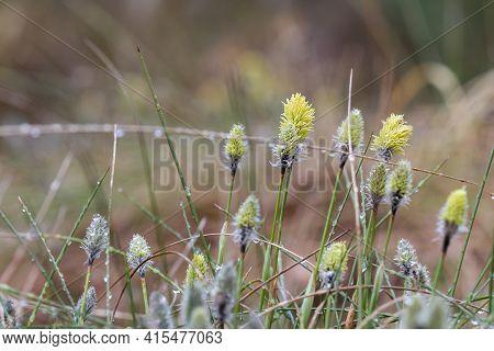 Tussock Hare's-tail Cottongrass Flower, Eriophorum Vaginatum In Czech Nature Reserve Cervene Blato