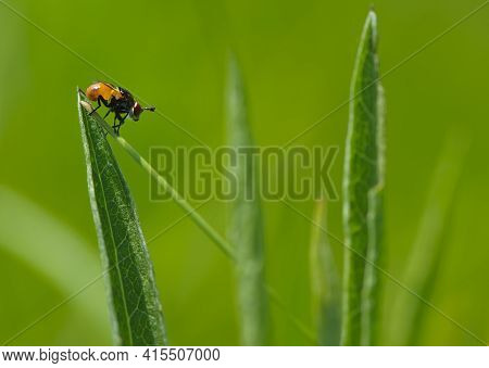 Copestylum. Close-up Of A Fly Sitting On Green Grass. Orange Fly Sits On A Leaf Of Grass, Side View,