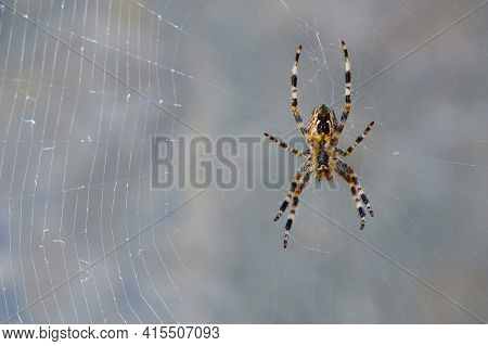 Large Spider, Araneus, Sitting On A Web. Spider. Macro Photo Of A Garden Spider On A Web Against A N