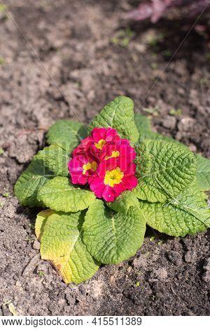 Perennial Primrose Or Primula In The Spring Garden. Spring Primroses Flowers. Purple Primroses In Sp