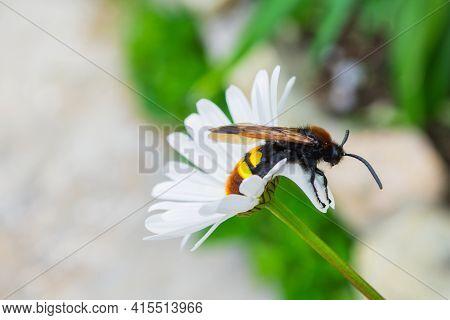 Giant Wasp (latin: Scolia Hirta) Sitting On A White Flower Ox-eye Daisy (latin: Leucanthemum). Selec