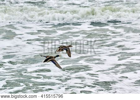Two Mallard Waterfowl Birds Flying Over Sea Water. Seascape Of Hovering Birds Against Background Of
