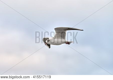 Seagull, Gull Flying Over Sea. Close Up View Of Hovering White Bird On Natural Blue Background.