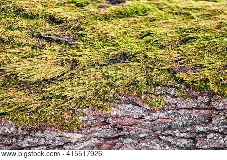 Beautiful Bright Green Moss Covering Tree Trunk In Forest. Wood Full Of Moss Texture In Nature For W
