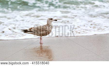 Young Yellow-legged Gull, Larus Michahellis, Walking On Seashore Near Baltic Sea. Close Up View Of J