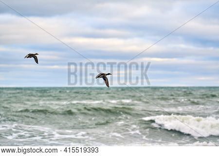 Mallard Waterfowl Birds Flying Over Sea Water. Anas Platyrhynchos, Mallard Duck. Hovering Birds On N