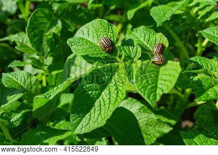 Pests Of Agricultural Plants. Colorado Potato Beetles (latin: Leptinotarsa Decemlineata) On Potato L