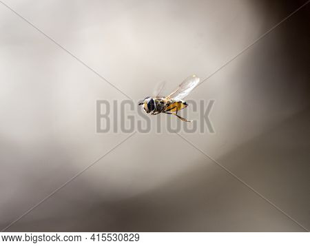 A Hover Fly In Flight Hovering Near A Plum Orchard Near Yokohama, Japan.