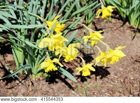 View Of Many Narcissus Pseudonarcissus, Commonly Known As Wild Daffodil Or Lent Lily, Is A Perennial