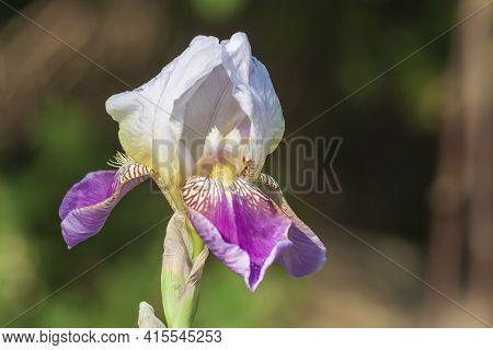 Beautiful Colorful Flower. Pop Iris - Irises On A Green Background