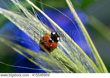 Red Dotted Ladybug On Wet Long Grass. Water Droplets On Spica Plant